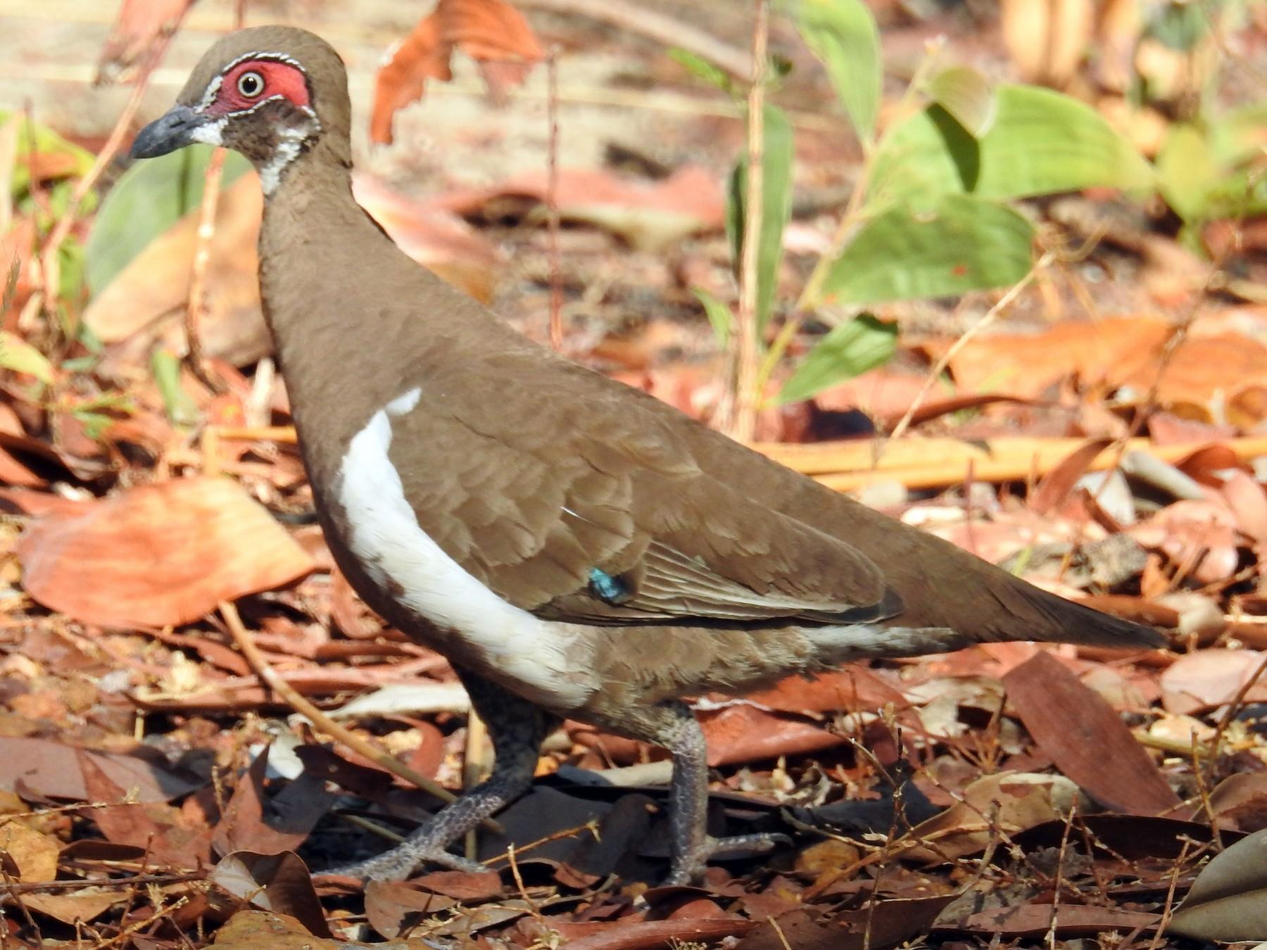 Partridge Pigeon - Colin Trainor