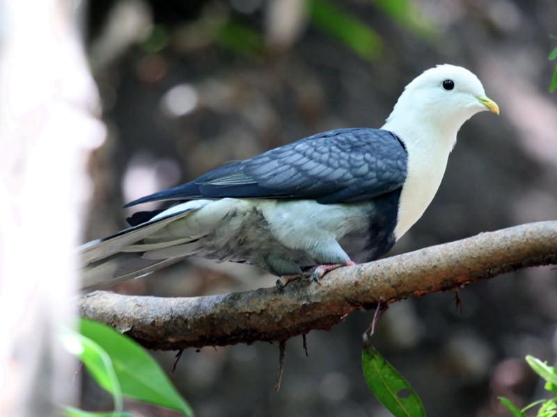 Black-banded Fruit-Dove - Marc Gardner