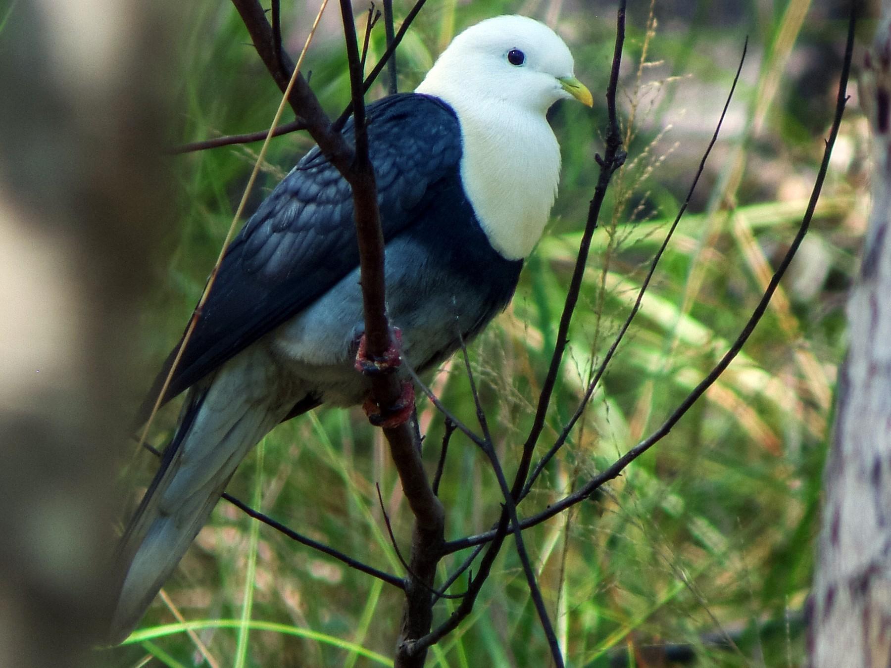 Black-banded Fruit-Dove - Nick Athanas