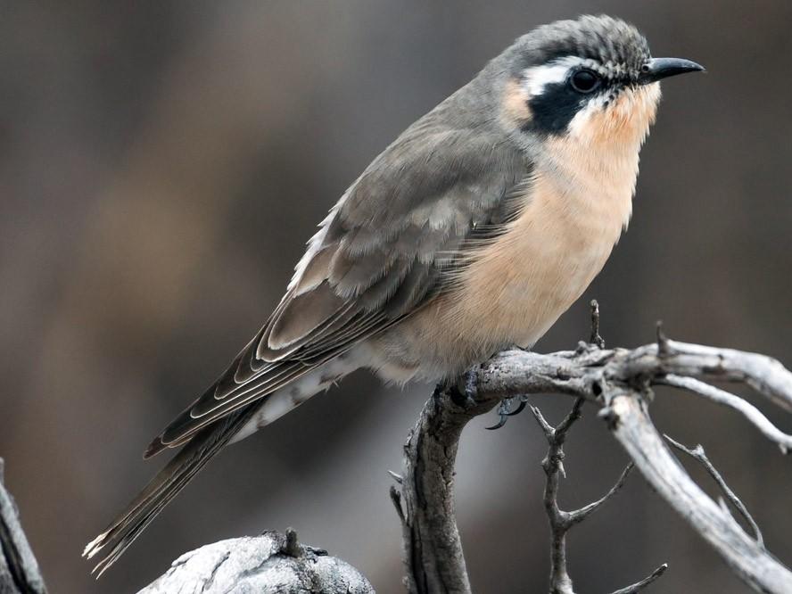 Black-eared Cuckoo - Barry Deacon