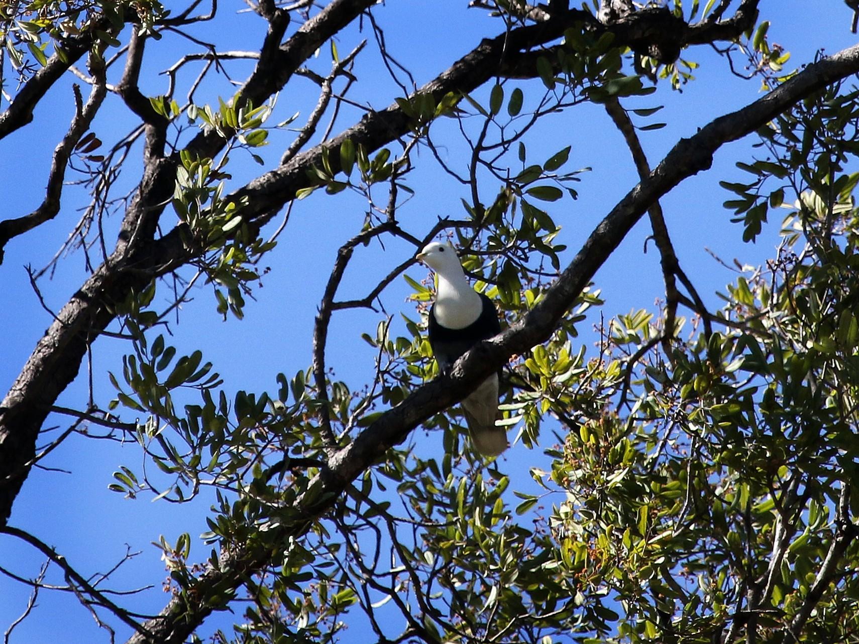 Black-banded Fruit-Dove - Stuart Kelly