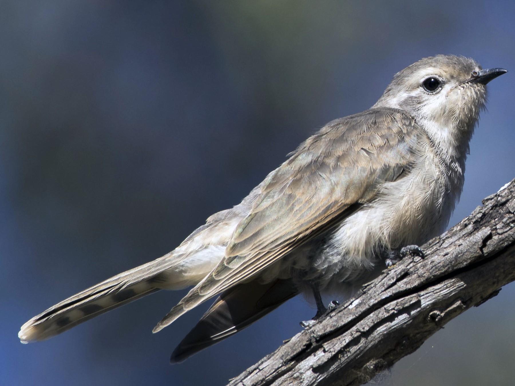 Black-eared Cuckoo - Bernie McRitchie