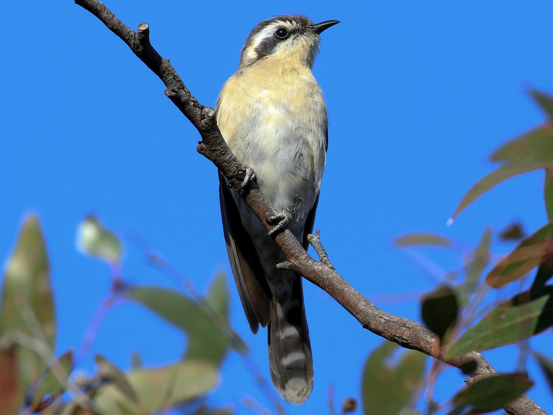 Black-eared Cuckoo - Bill Twiss