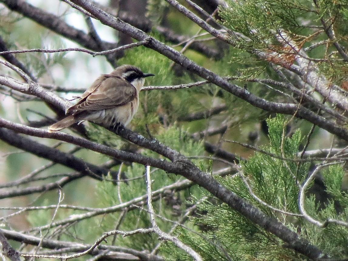 Black-eared Cuckoo - Ash Allnutt