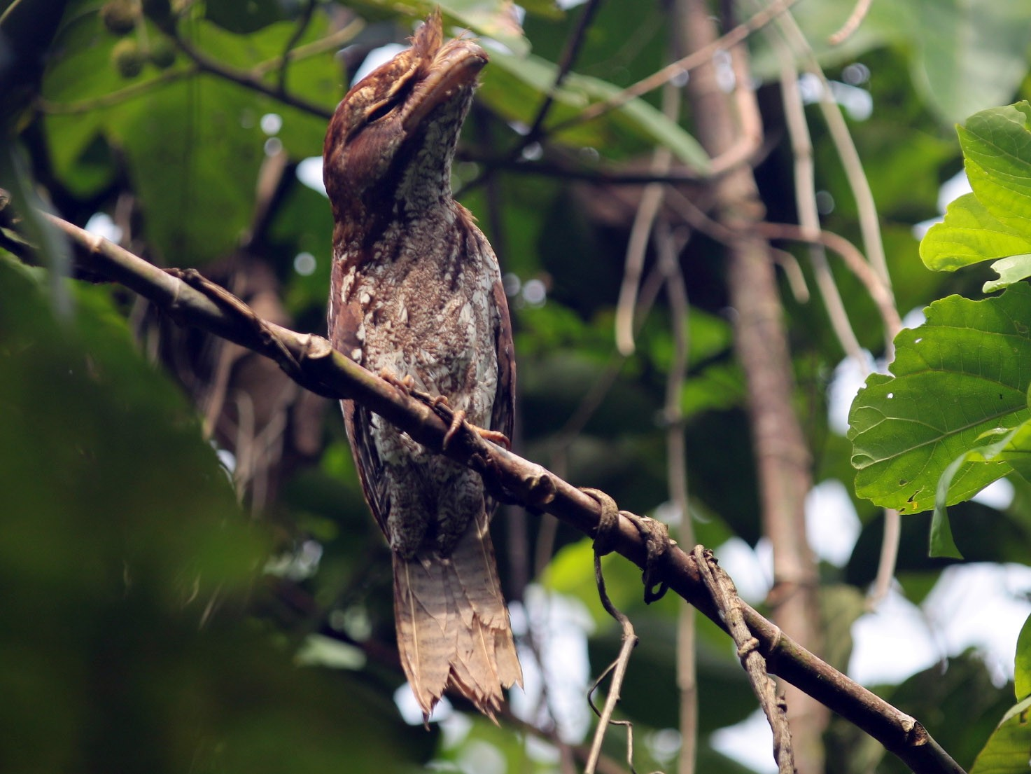 Marbled Frogmouth - Arco Huang
