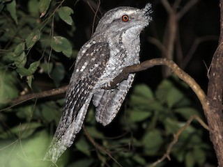 - Marbled Frogmouth