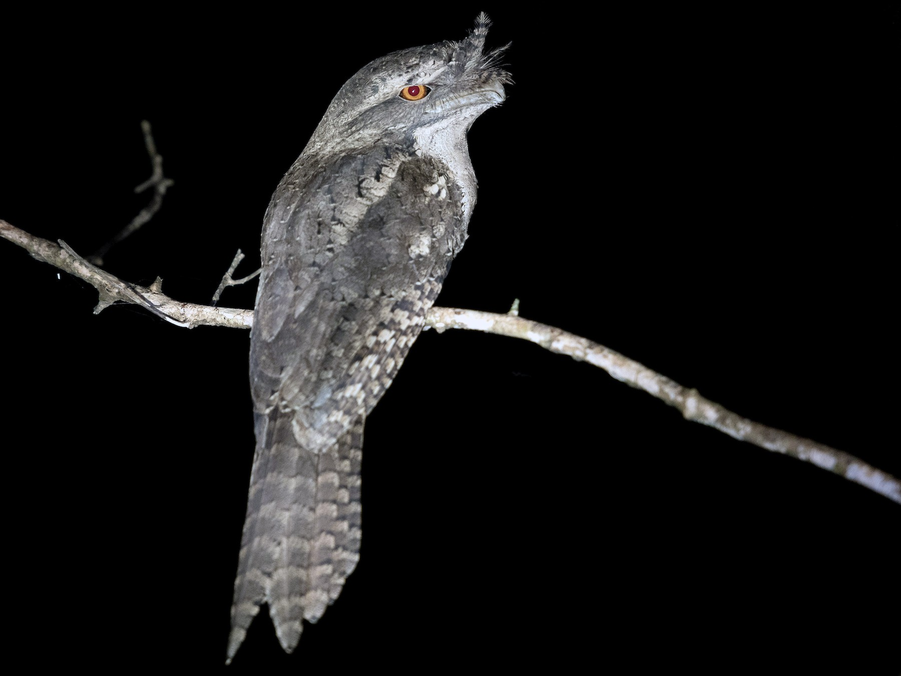 Marbled Frogmouth - Terence Alexander