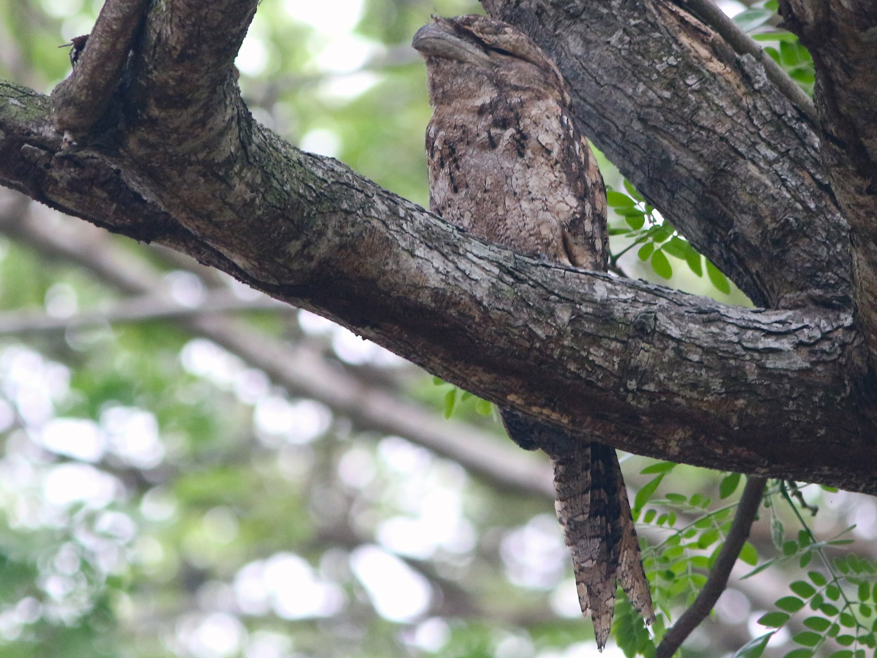 Papuan Frogmouth - Don Roberson