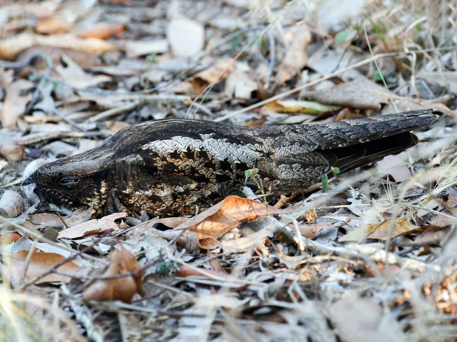 White-throated Nightjar - James Kennerley 🦄