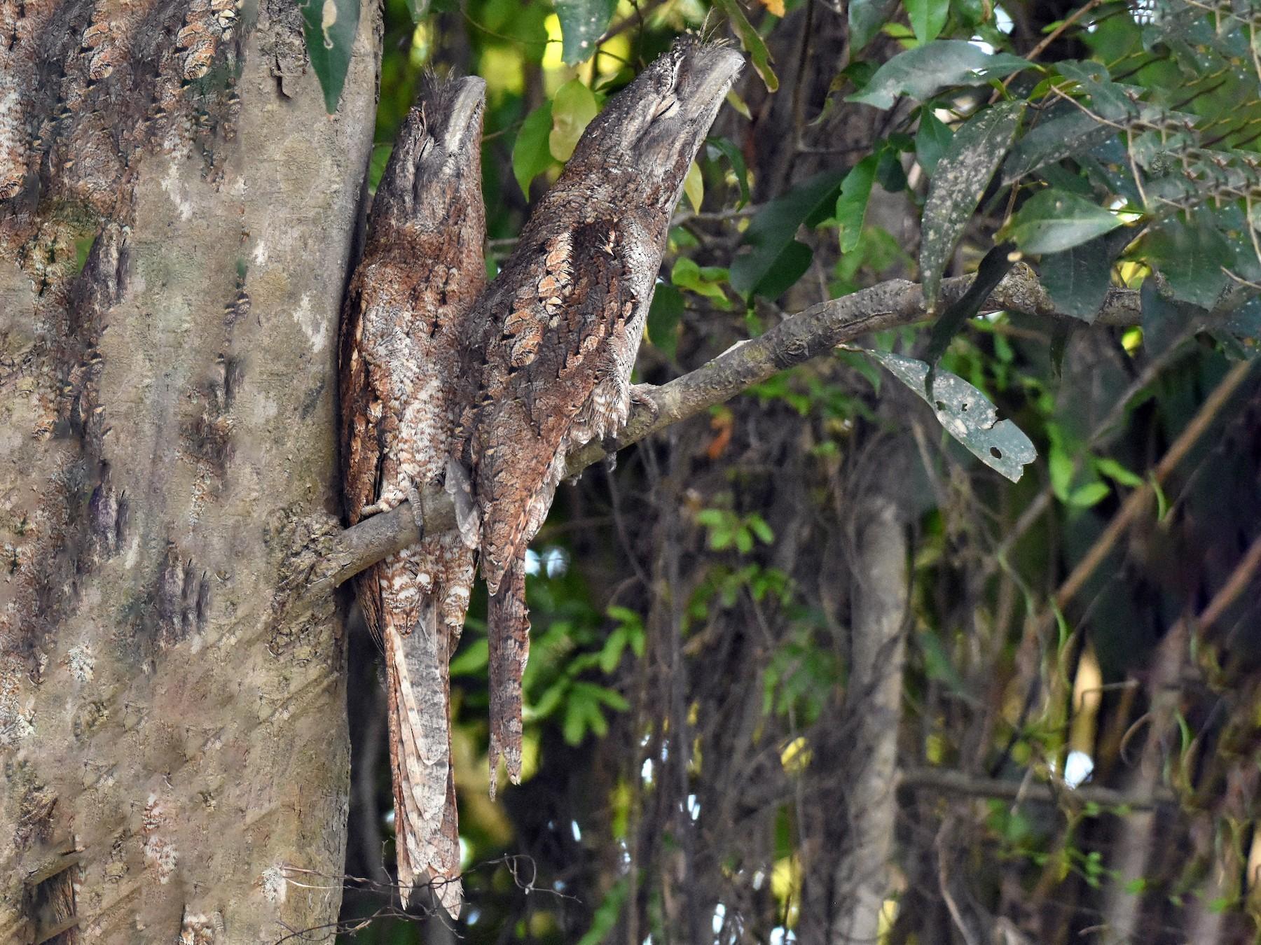 Papuan Frogmouth - Jason Vassallo