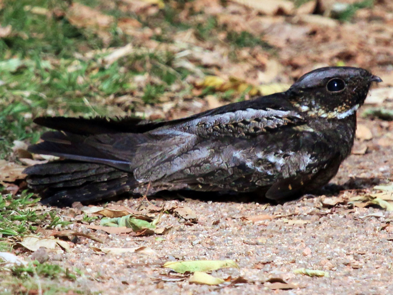 White-throated Nightjar - Enoch Bultreys
