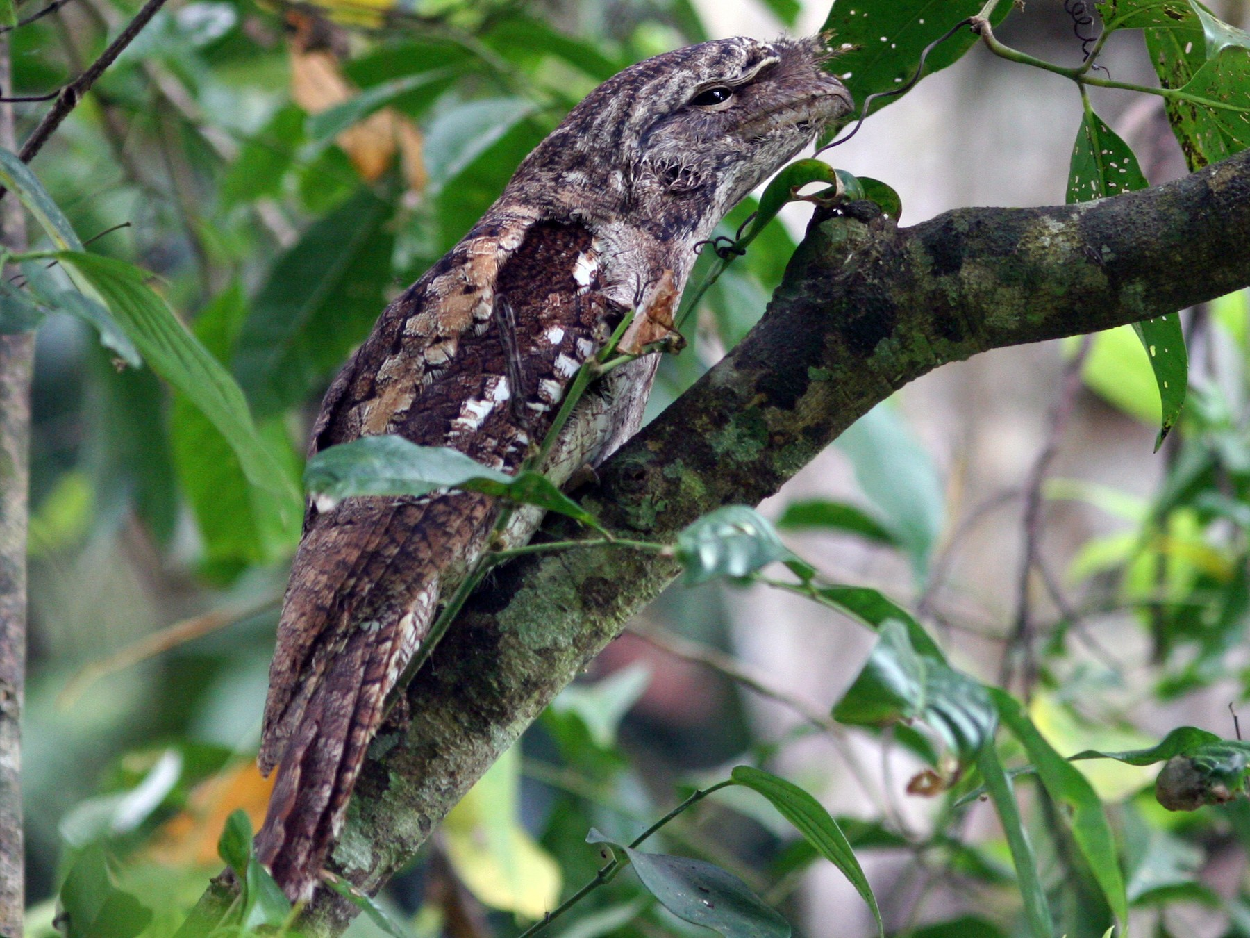 Papuan Frogmouth - David Disher