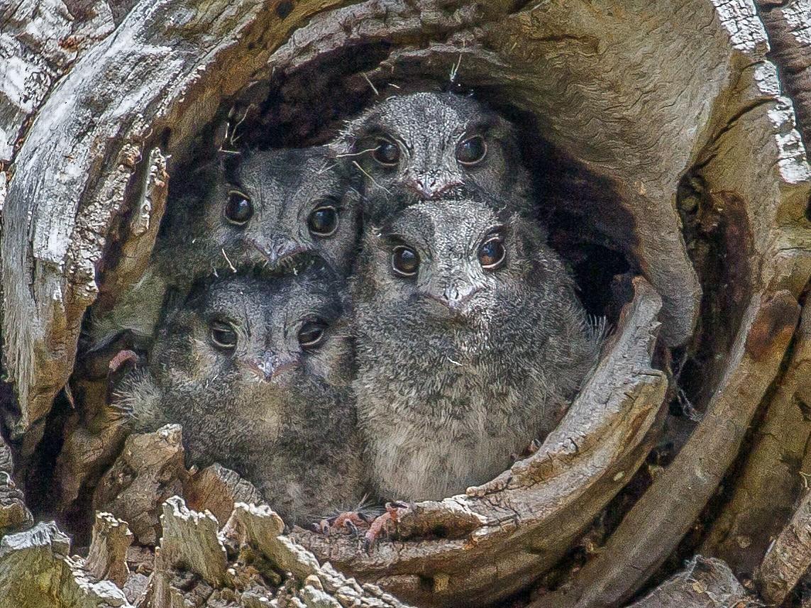 Australian Owlet-nightjar - shorty w