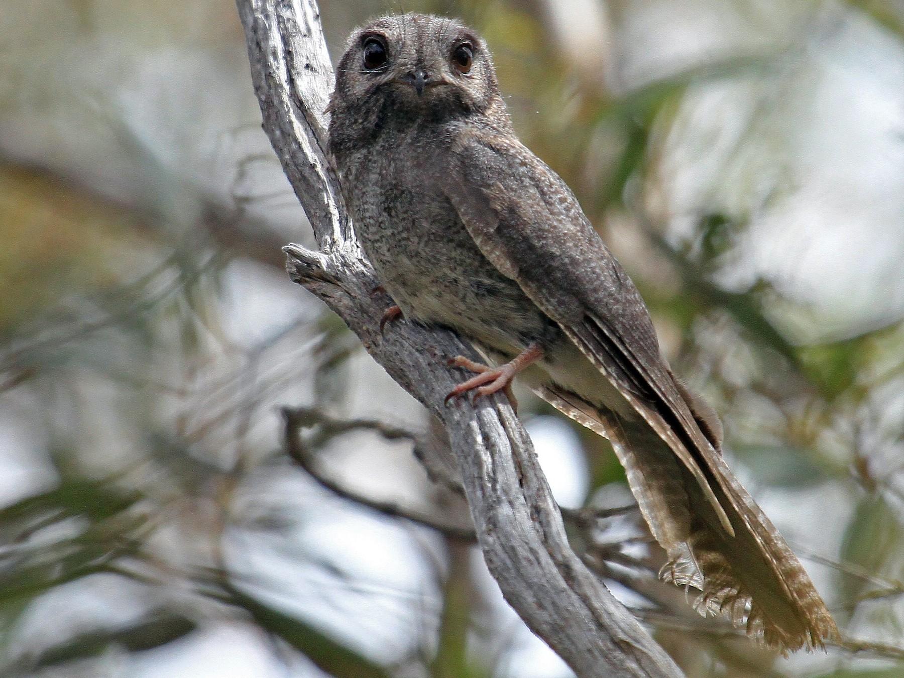Australian Owlet-nightjar - Carl Poldrack