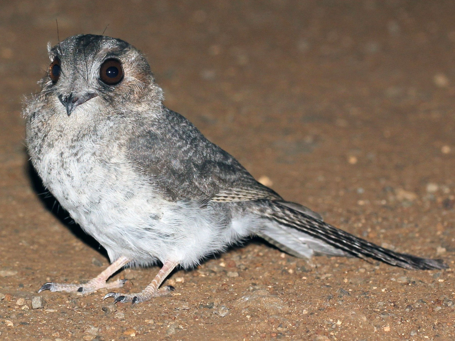 Australian Owlet-nightjar - Chris Wiley