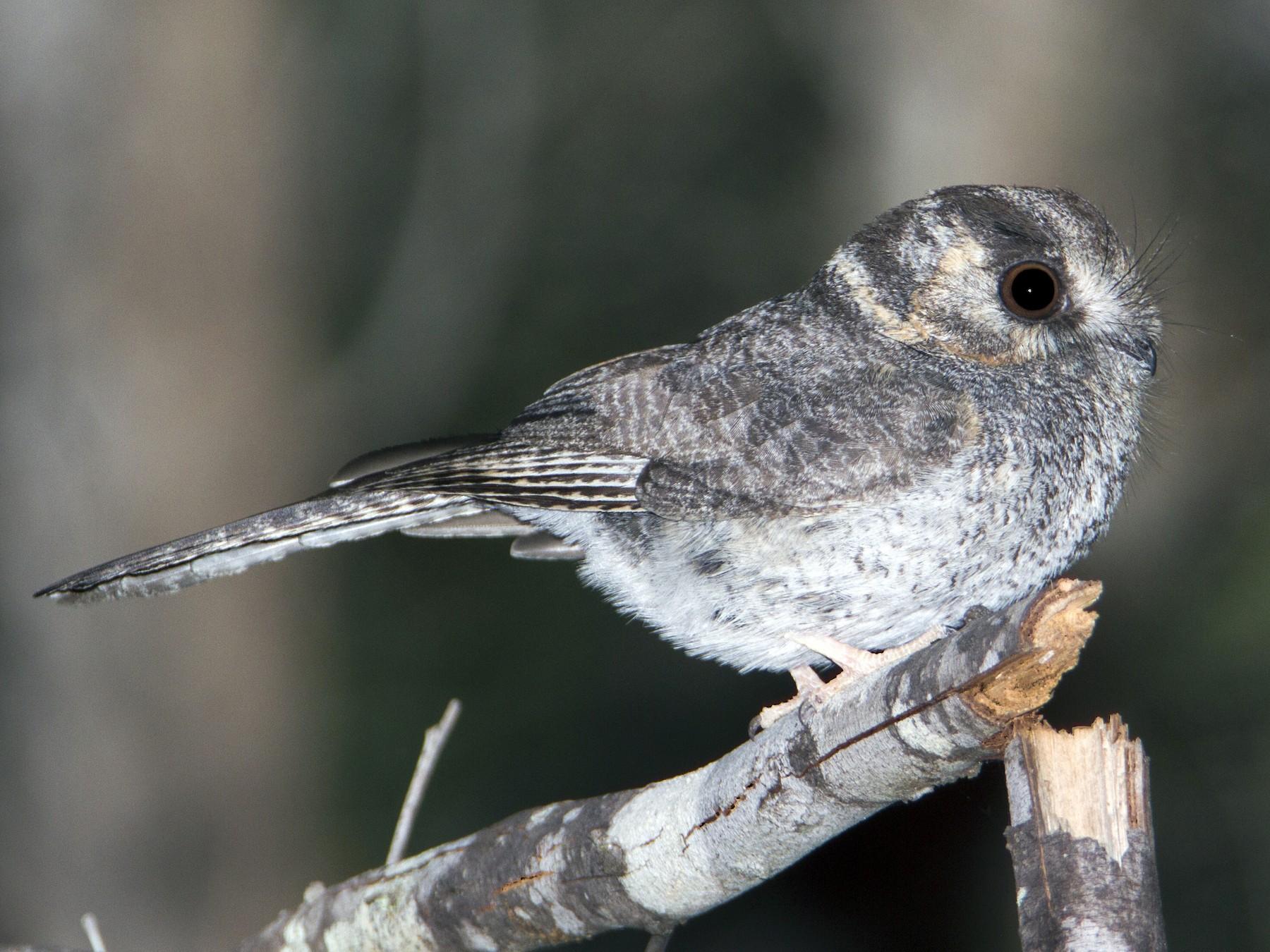 Australian Owlet-nightjar - Timothy Paasila