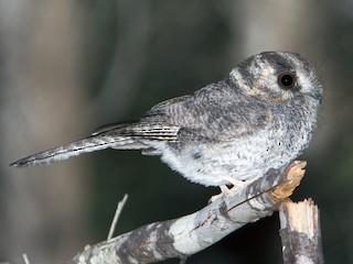 - Australian Owlet-nightjar