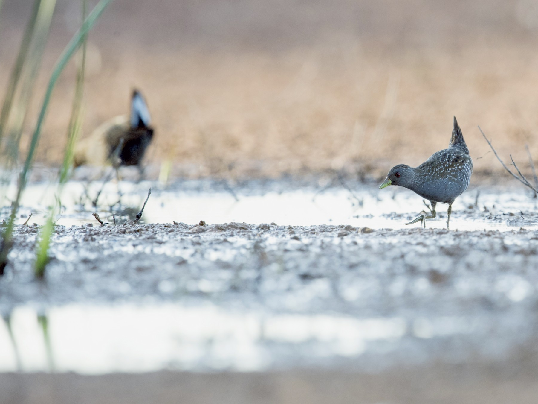 Australian Crake - Laurie Ross | Tracks Birding & Photography Tours