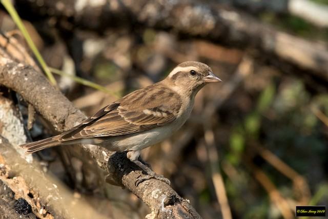 Yellow-throated Bush Sparrow