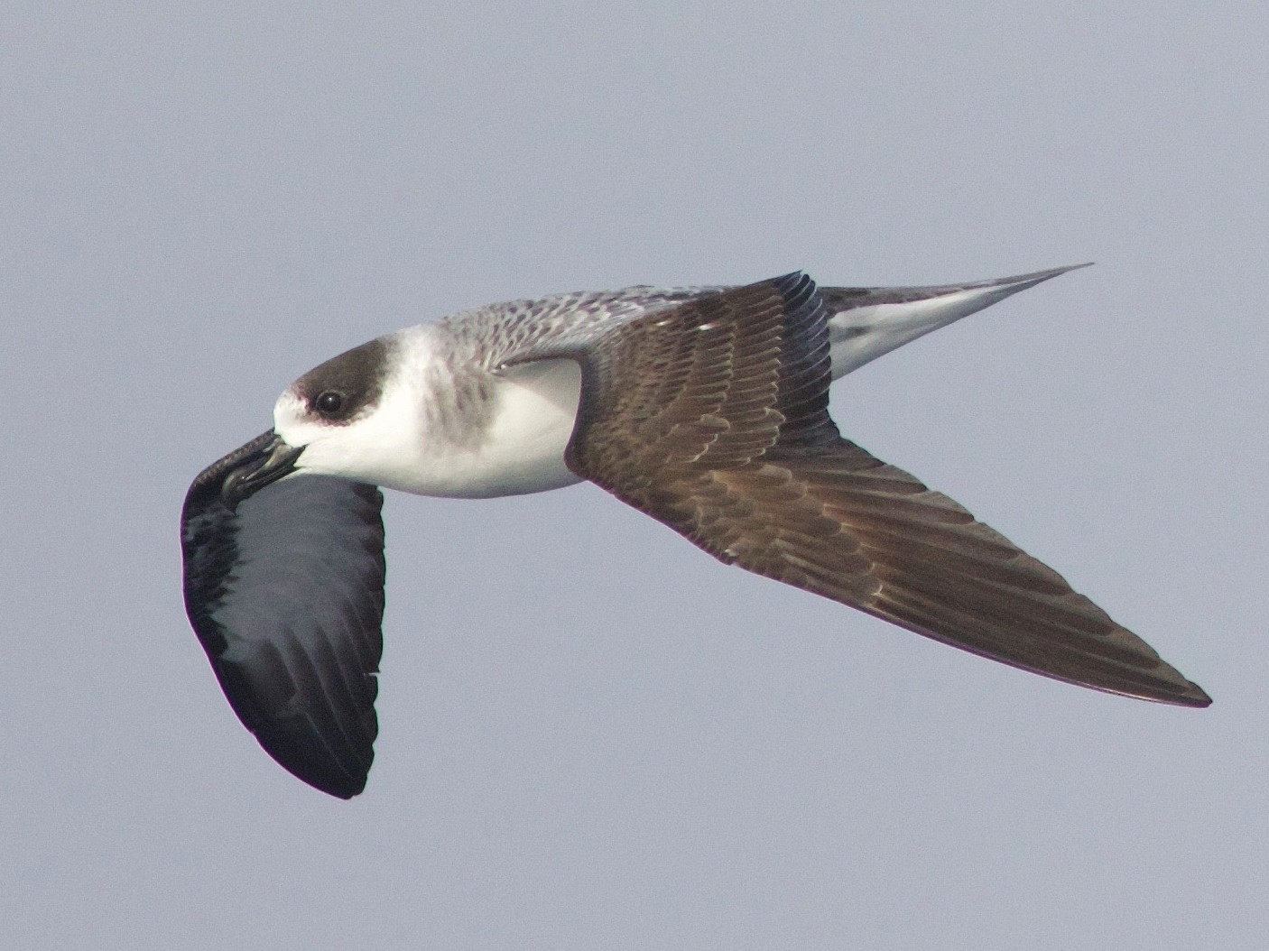 White-necked Petrel - Liam Murphy