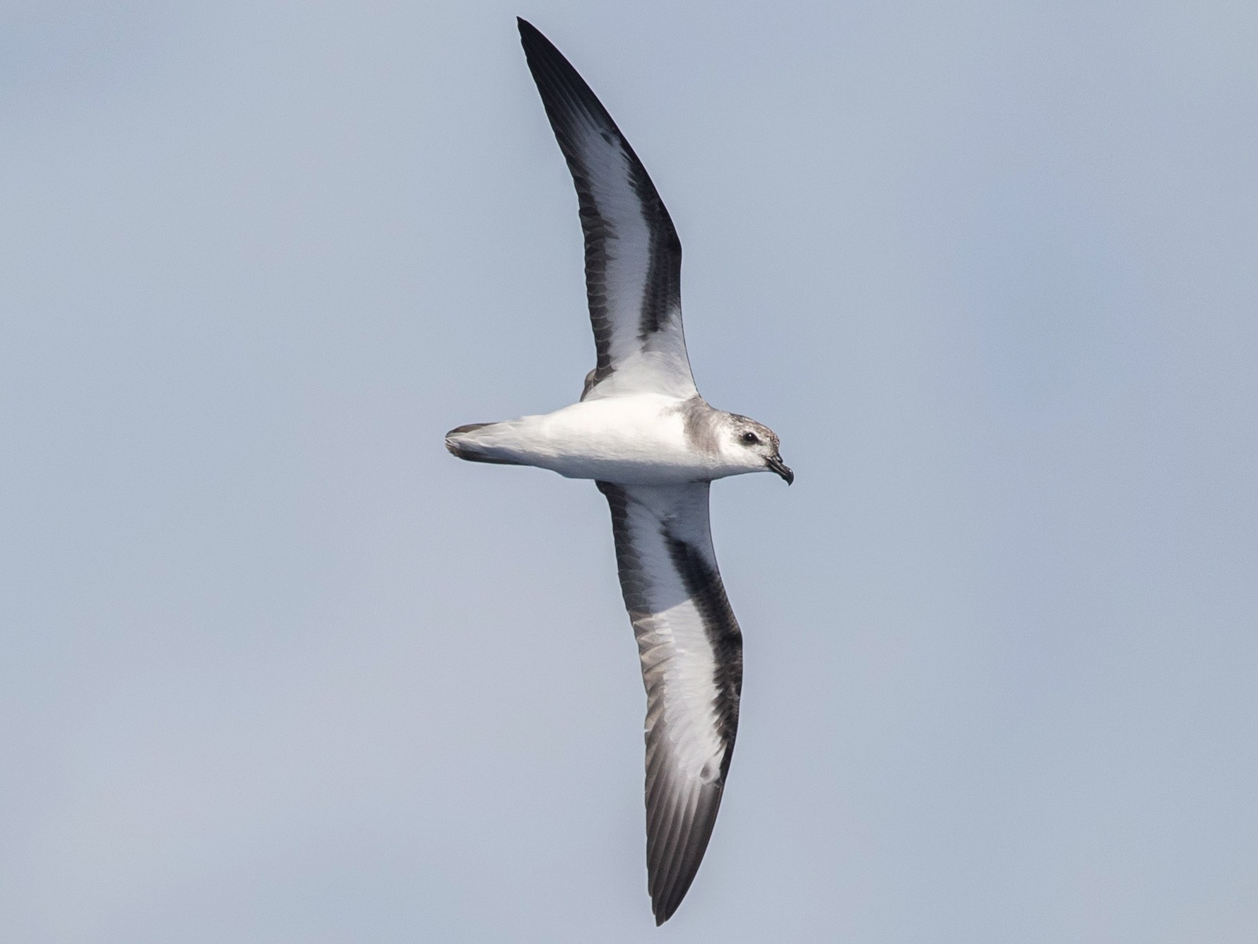 Black-winged Petrel - yann muzika