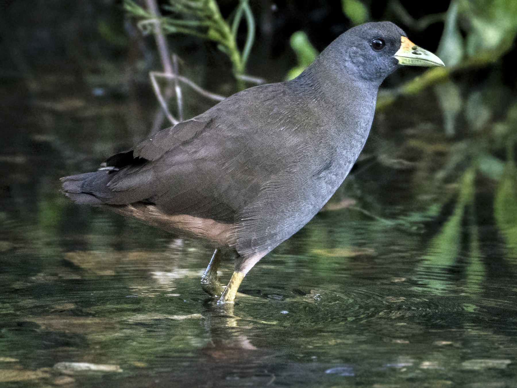 Pale-vented Bush-hen - Lucas Brook