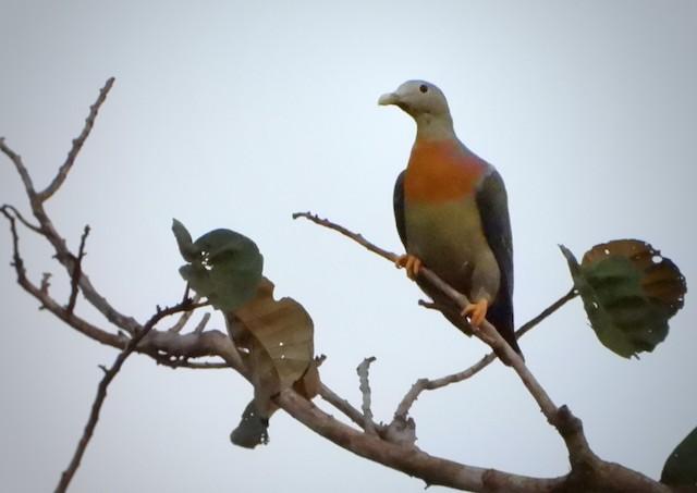 Large Green-Pigeon