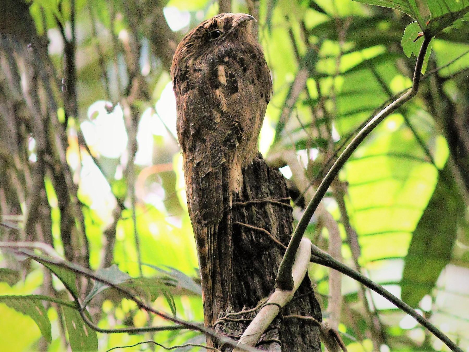 Long-tailed Potoo - Jim Regali