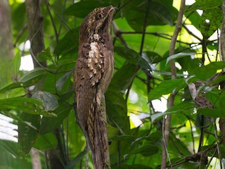 - Long-tailed Potoo
