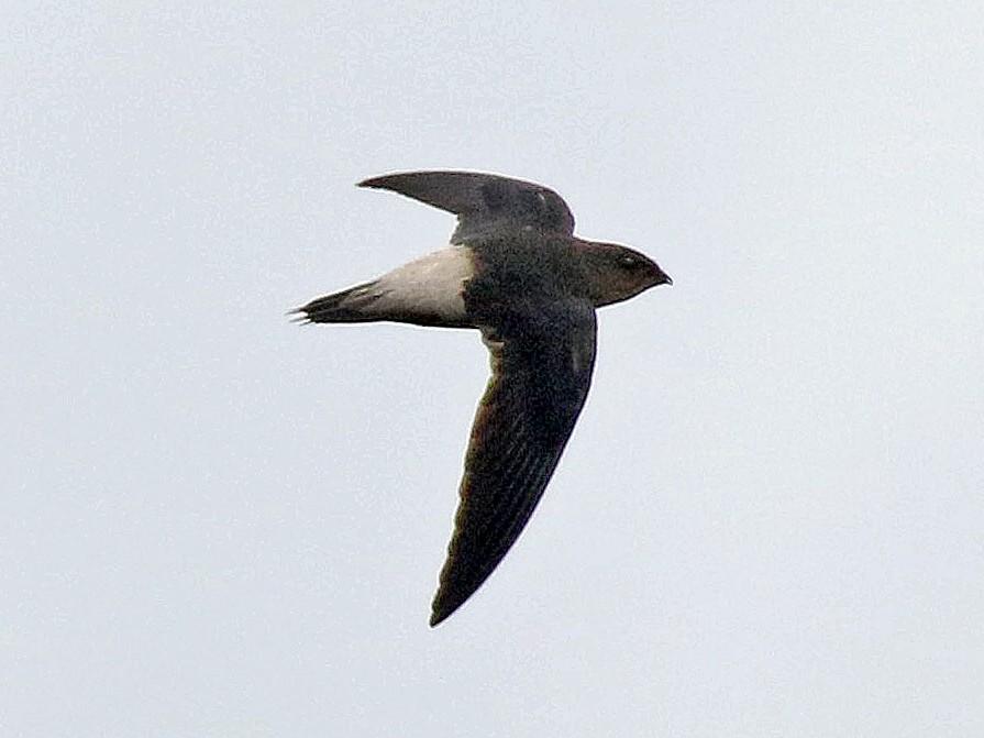 Pale-rumped Swift - Roger Ahlman
