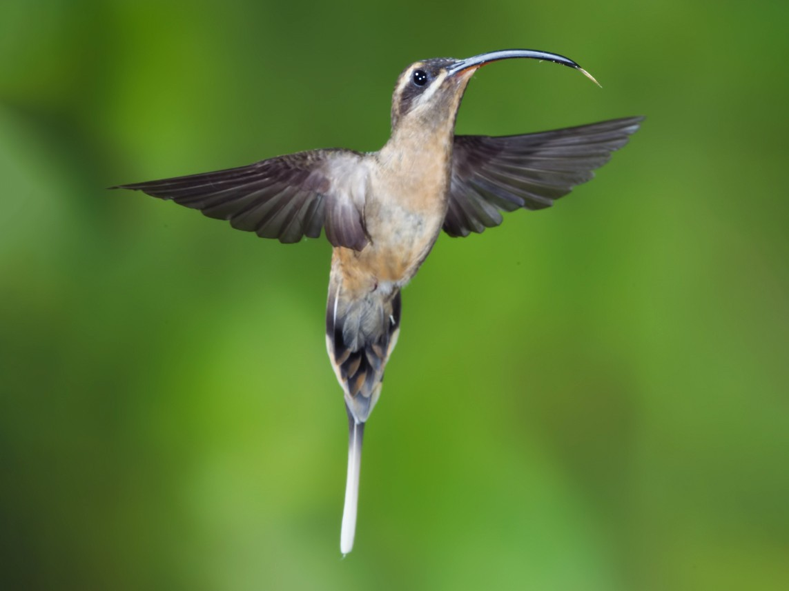Great-billed Hermit - Peter Hawrylyshyn