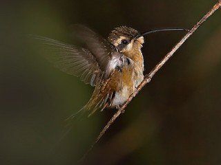 - White-browed Hermit