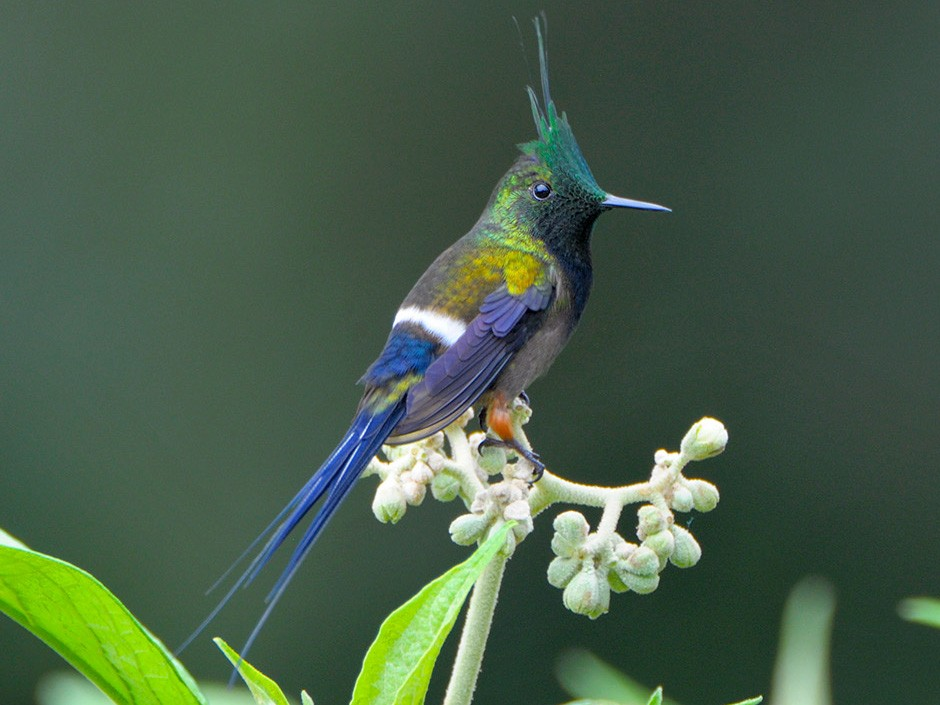 Wire-crested Thorntail - James Livaudais