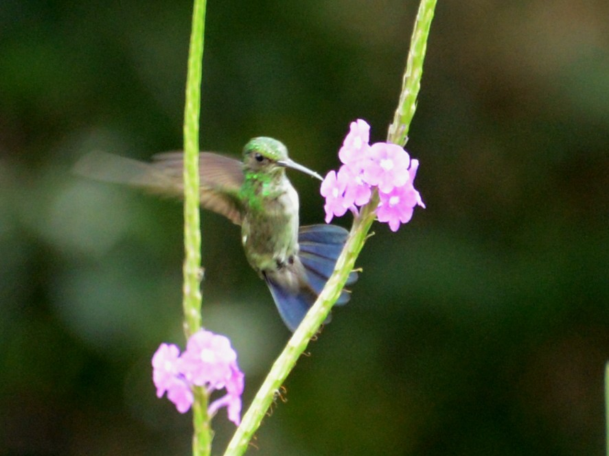 Blue-chinned Sapphire - Roger Stone