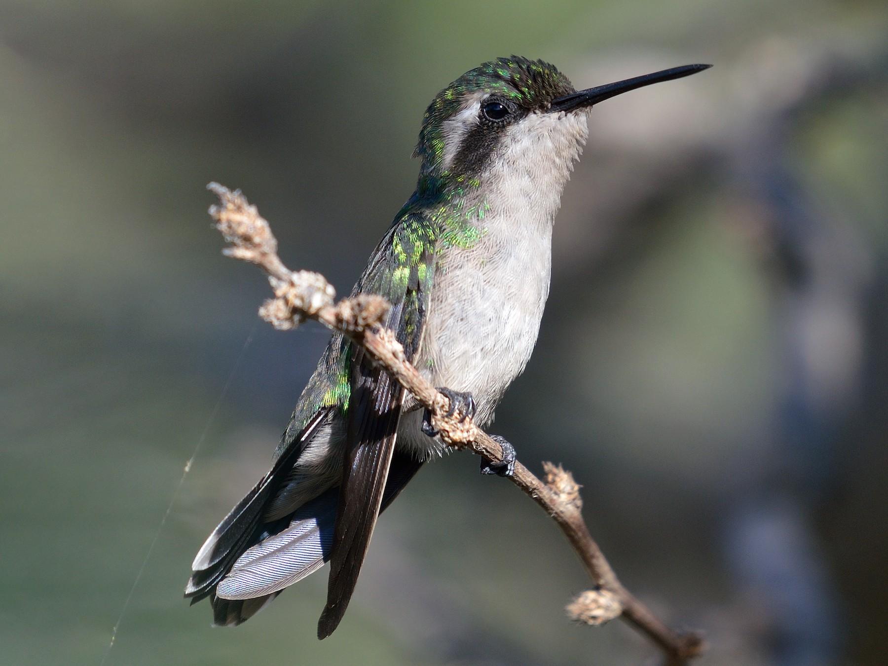 Blue-tailed Emerald - Michiel Oversteegen