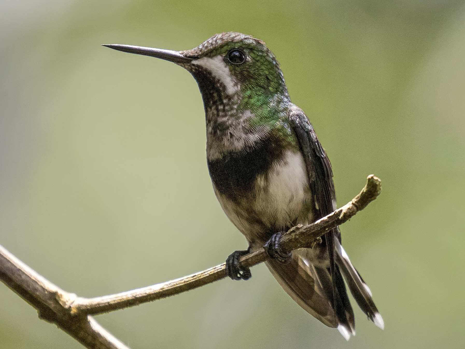 Black-bellied Thorntail - Peter Hawrylyshyn