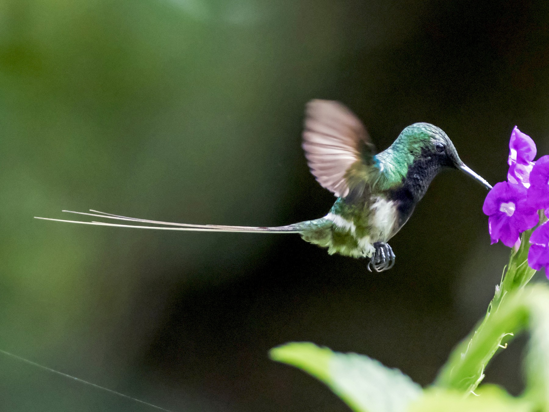 Black-bellied Thorntail - Nick Athanas