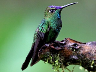 - Violet-fronted Brilliant