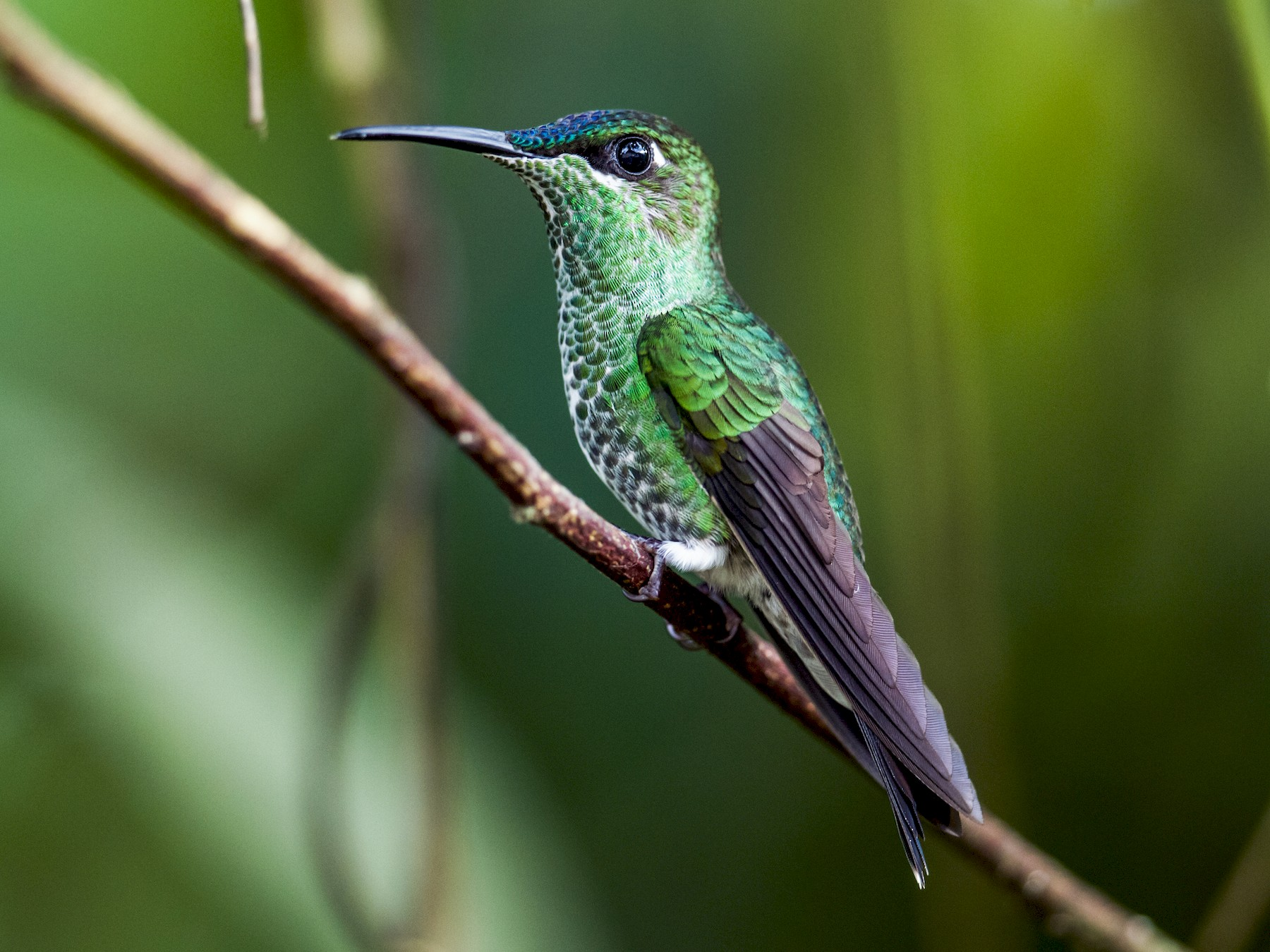 Violet-fronted Brilliant - Nick Athanas