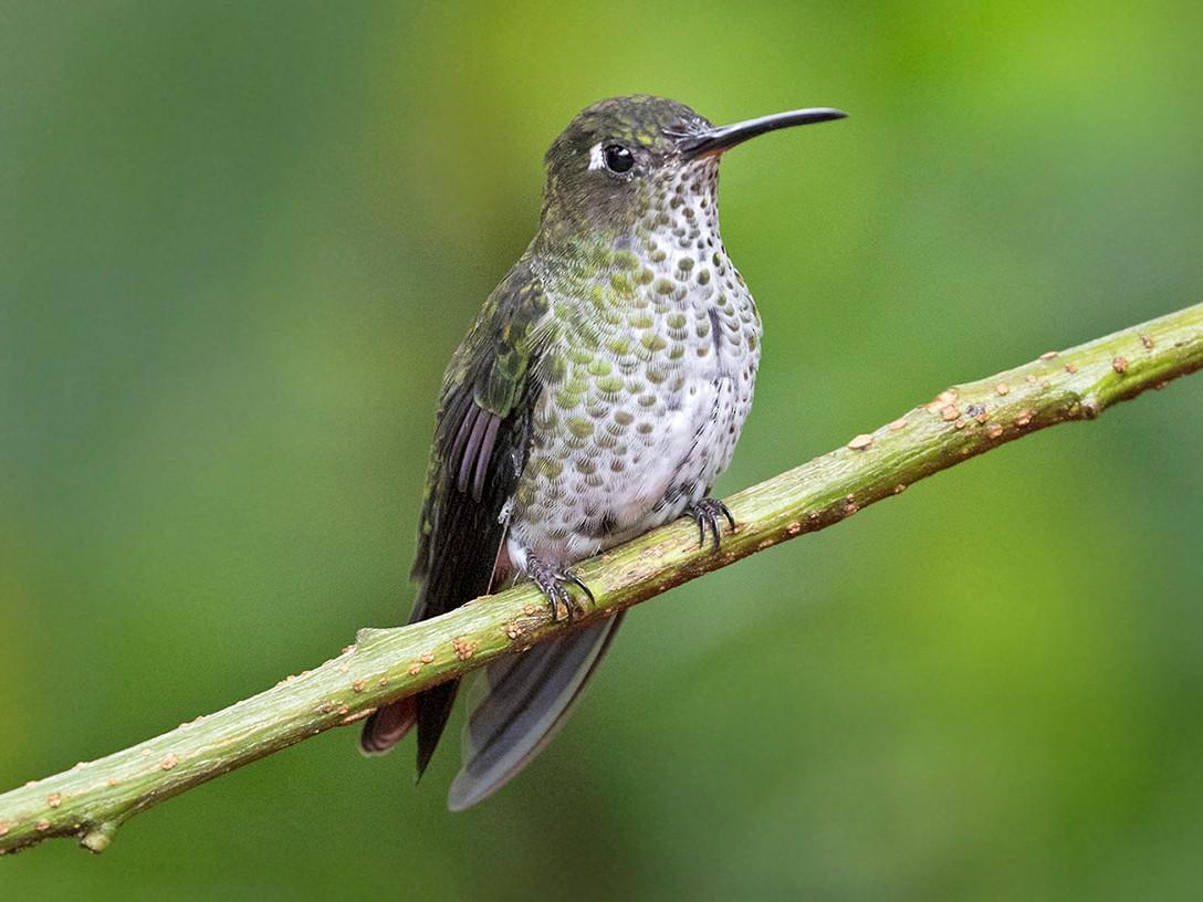 Many-spotted Hummingbird - Sam Woods