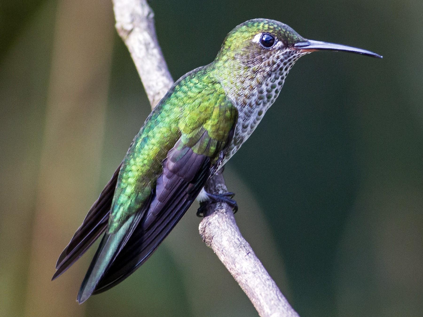 Many-spotted Hummingbird - Naseem Reza