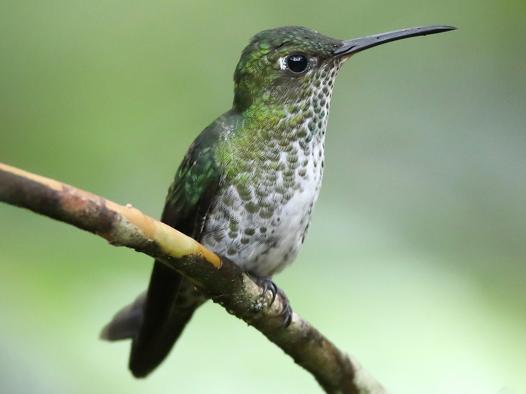 Many-spotted Hummingbird - Graham Montgomery