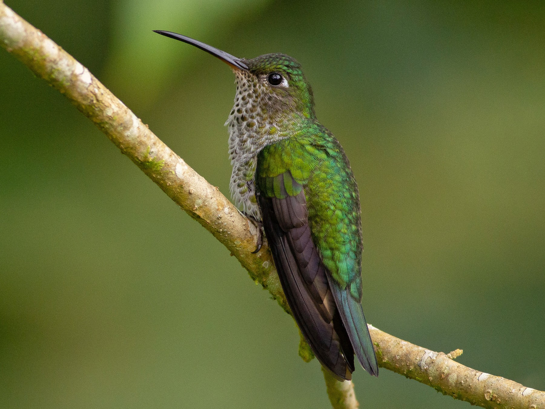 Many-spotted Hummingbird - Angus Pritchard