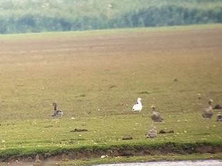 Ross's Goose, ML172564811