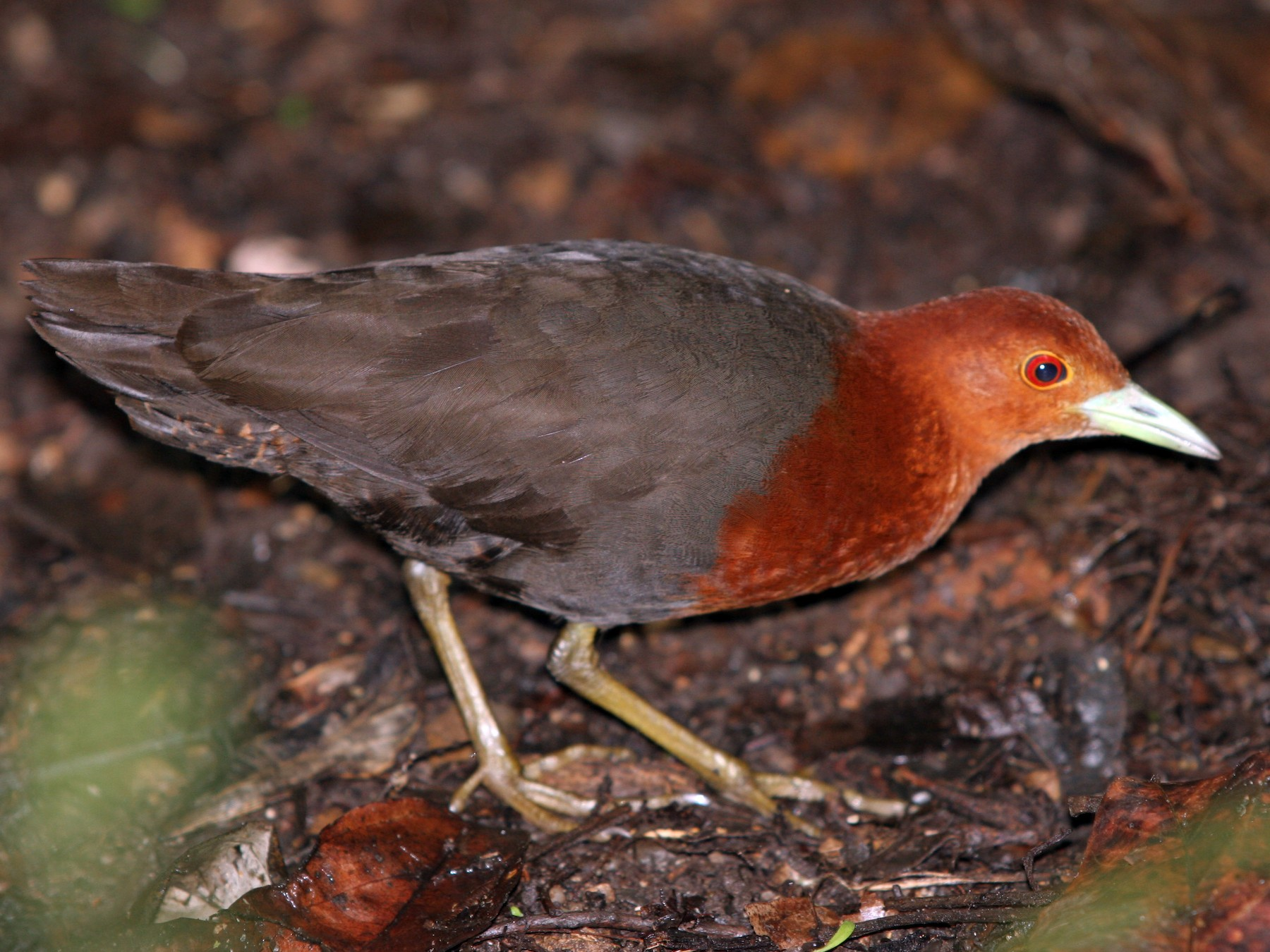 Red-necked Crake - Keith & Lindsay Fisher