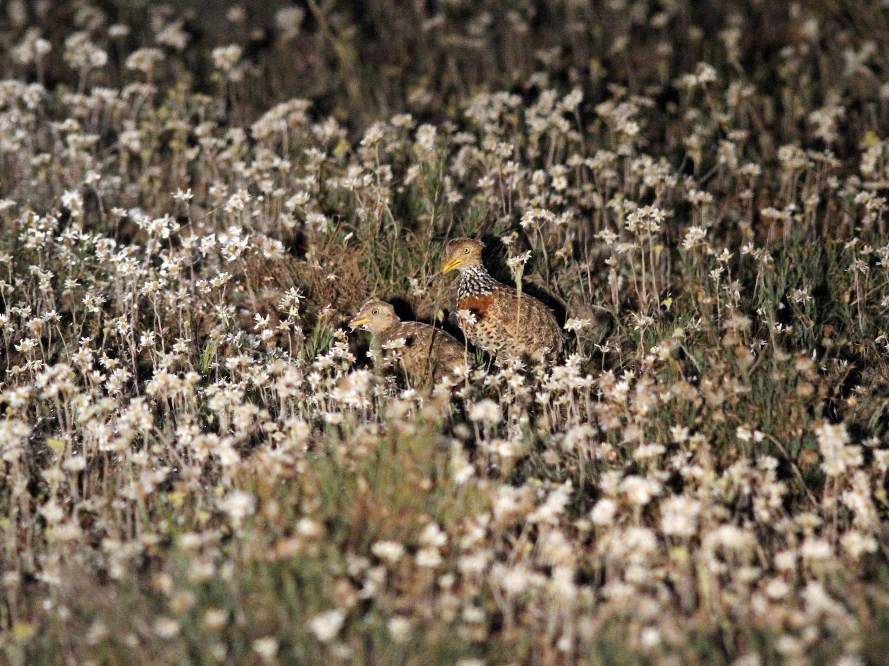 Plains-wanderer - Steve Kelling