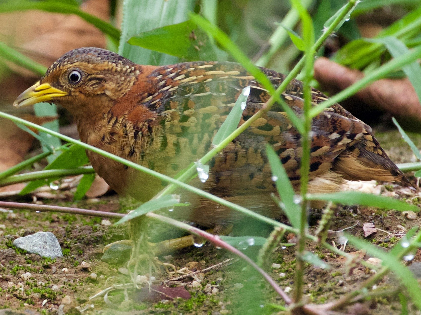 Red-backed Buttonquail - Scott Baker