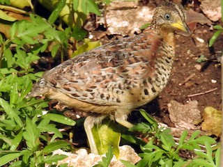 - Red-backed Buttonquail