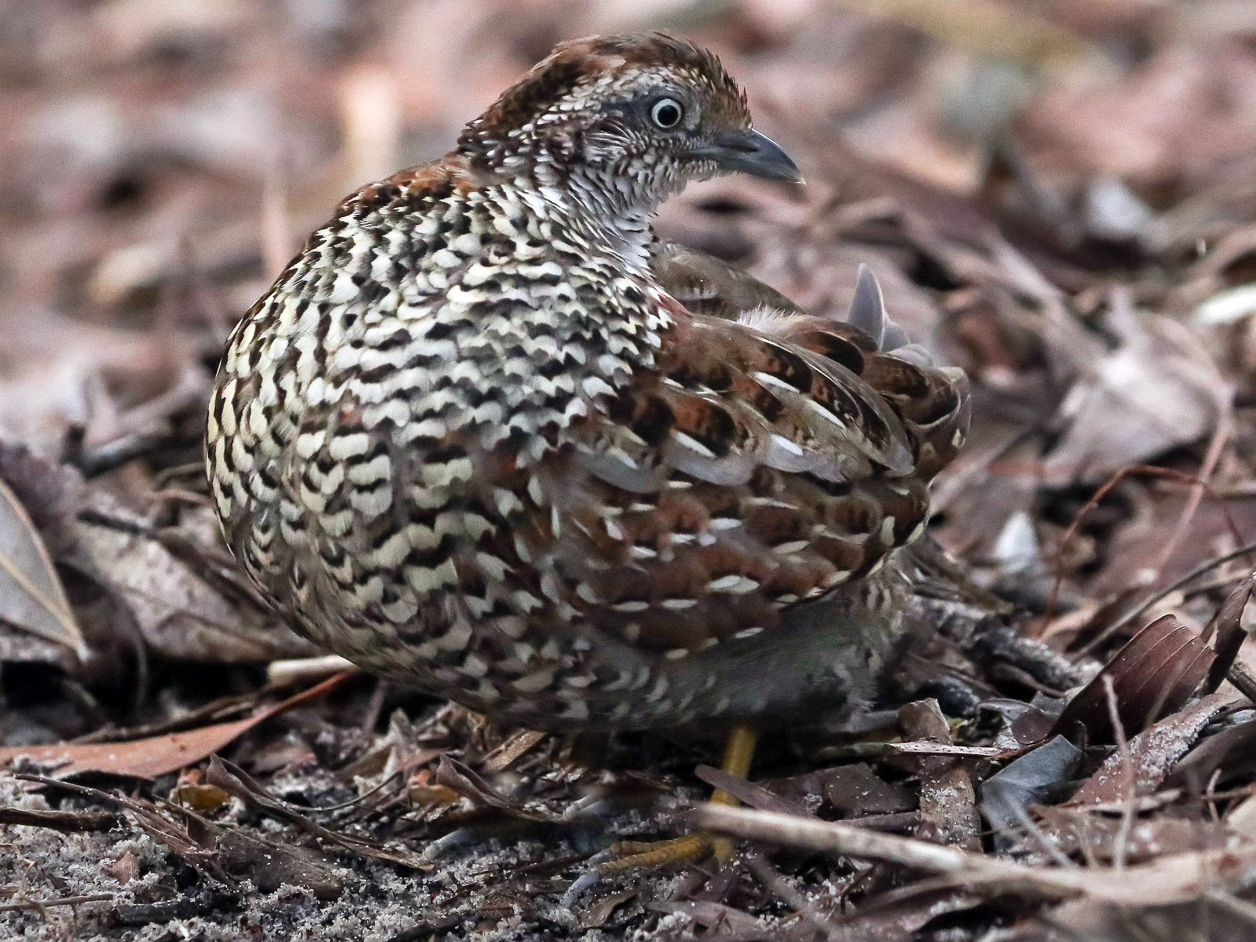 Black-breasted Buttonquail - Ged Tranter
