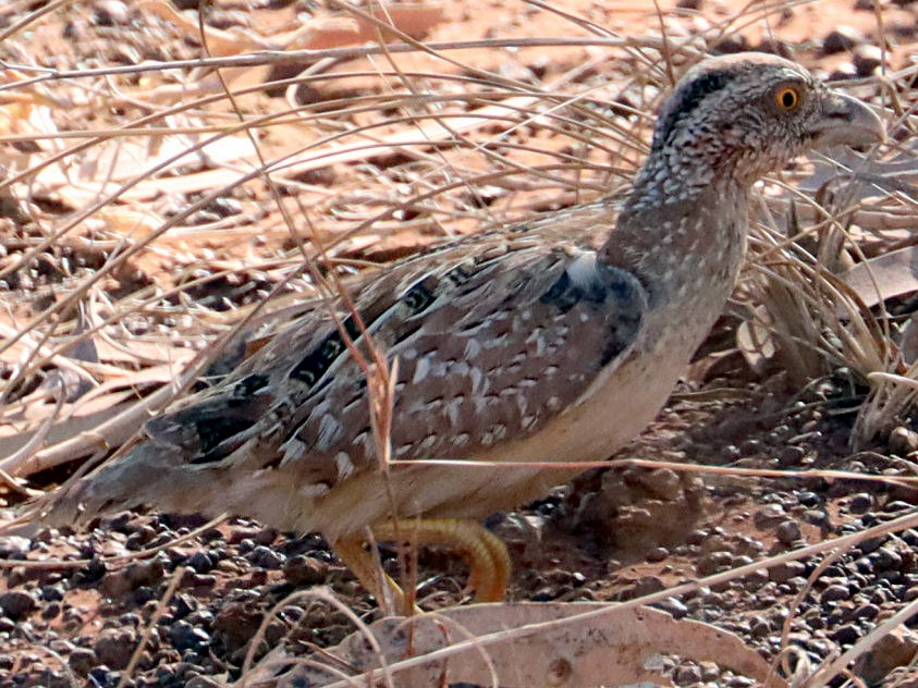 Chestnut-backed Buttonquail - jannette and peter manins